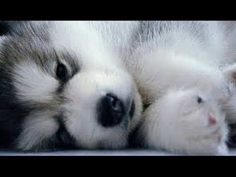 Pomsky Puppies Adorable Cross Bread Pomeranian and Husky cute POM POM Pomskies compilation