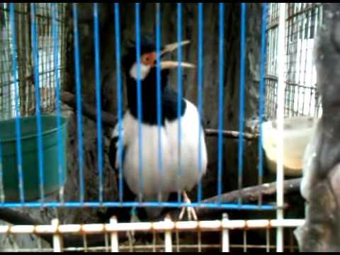bird jalak suren indonesia