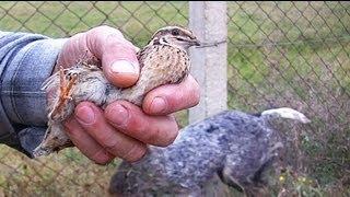 getlinkyoutube.com-Ağzımızla kuş tutsak... Elle Bıldırcın Avı