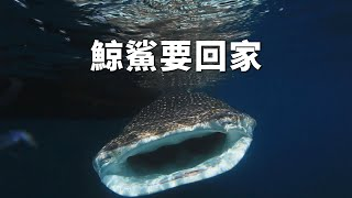 getlinkyoutube.com-我們的島 第716集 鯨鯊要回家 (2013-07-22)