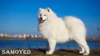 getlinkyoutube.com-Top 10 Most Expensive Dog Breeds in the World 🐕