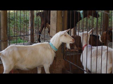 Curso Criação de Cabras Leiteiras - Sistemas de Criação - Cursos CPT