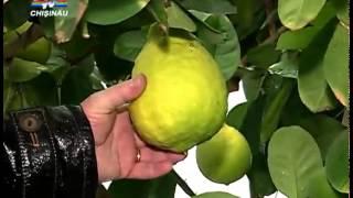 getlinkyoutube.com-Barbatul creste pe langa casa lamai, mandarine si rodii