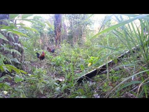 Pikat ayam hutan K2 tapau releks