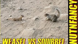 getlinkyoutube.com-Weasel vs Ground Squirrel: Nature's Combat