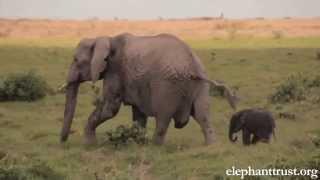 getlinkyoutube.com-Elephant Baby-Mother love will make U cry