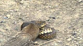 getlinkyoutube.com-مقطع نااادر ,, شوفوا السنجاب ايش يسوي بأخطر انواع الثعابين.