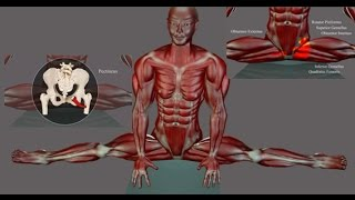 Side Splits Straddle Stretching Anatomy EasyFlexibility Muscle Diagram