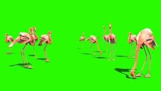Green Screen Animals Pink Flamingo - Footage PixelBoom