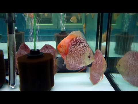 instalacion Peces disco. www.pecesdisco.com