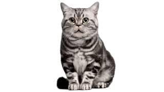getlinkyoutube.com-Поющие коты