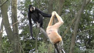 getlinkyoutube.com-Gibbons singen