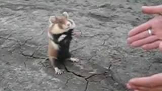 getlinkyoutube.com-Hamster do Mal!!!