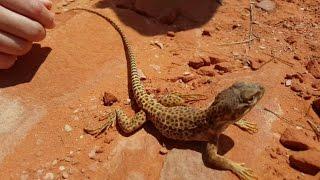 getlinkyoutube.com-4K CC. Big Leopard Lizard, Catching Reptiles for Pets in Utah, Arizona, Nevada, California, Texas HD