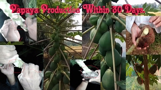 Papaya Production Within 30 Days After Grafting.