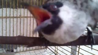 Kicauan Burung Kutilang yang suja jadi beginilah  yang tak kalah dengan Burung Mahal yang lain