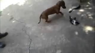 getlinkyoutube.com-Gata defiende a su cría de perro