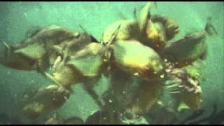 getlinkyoutube.com-Piranha Feeding Frenzy