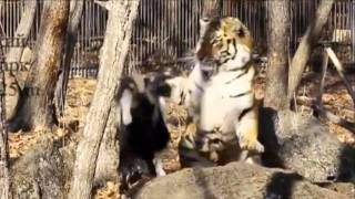 getlinkyoutube.com-Surprising Goat And Tiger Friendship Finally Comes To An End