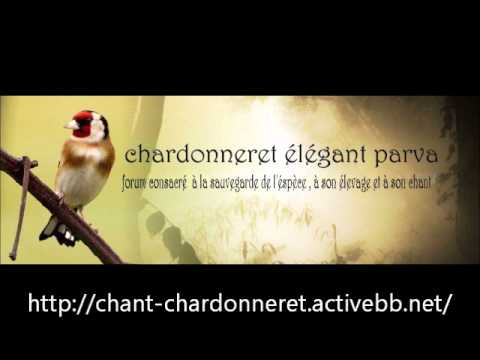 chant chardonneret d'Algerie Royal top chant complet !!!