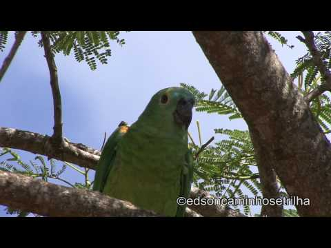 Papagaio-verdadeiro (Amazona aestiva)