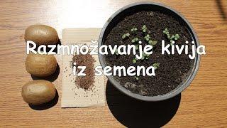 getlinkyoutube.com-Razmnožavanje kivija iz semena