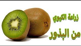 زراعة الكيوي | kiwi | من البذور |