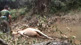 getlinkyoutube.com-Sucuri ataca vaca e puxa ela pra dentro do rio