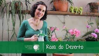 getlinkyoutube.com-Nô Figueiredo Ensina Como Cultivar Rosa do Deserto