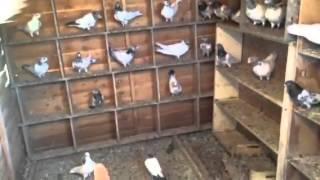 getlinkyoutube.com-Pakistani pigeons 2015 Telford   Pakistani kabootar  Azaad Kashmir Pakistan Punjab