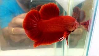 getlinkyoutube.com-ปลากัดยักษ์