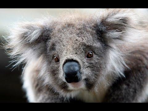 Las primeras damas del G-20 posan con bellos koalas durante la cumbre en Australia