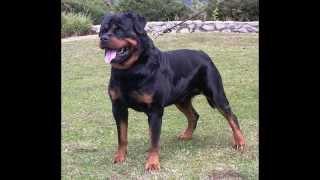 getlinkyoutube.com-Top 20 des plus beaux chiens du monde !