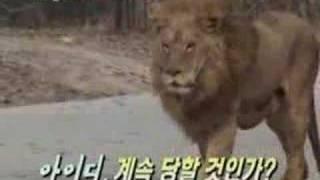 getlinkyoutube.com-Tiger vs Lion, Tiger wins.