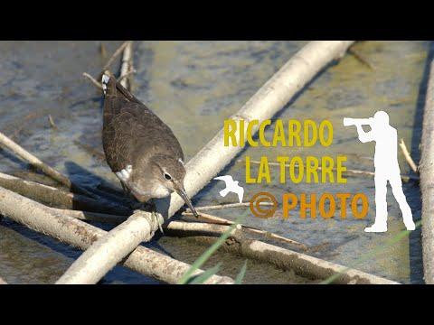 Piro piro piccolo - Actitis hypoleucos