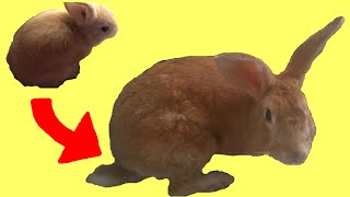 getlinkyoutube.com-Rabbit Growing 2.5 Years (Time Lapse)
