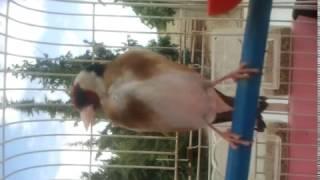 getlinkyoutube.com-goldfinch chardonneret  sauvage  2015  الحسون الجزائري