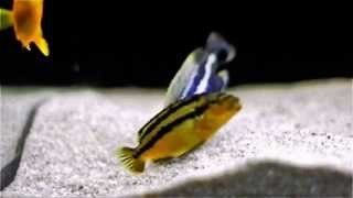 getlinkyoutube.com-Malawi Cichlids Breeding - Close Up - Melanochromis Auratus