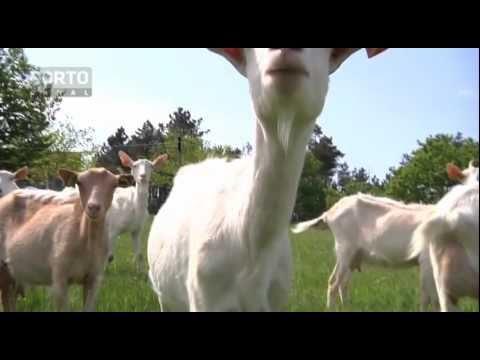 Queijinho da Lapa, queijo de cabra, Sernancelhe