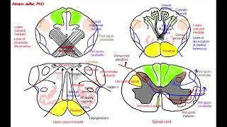 getlinkyoutube.com-Medulla oblongata, simplified sections of internal structure
