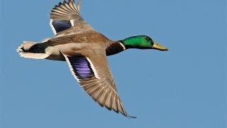 getlinkyoutube.com-Mallard Swarm. 2014 North Dakota Duck hunting.