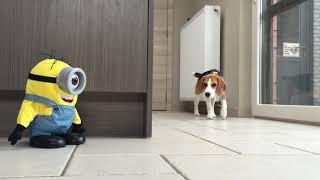 """getlinkyoutube.com-Funny Dogs VS """"TUMBLIN STUART"""" The Minion! Part 1"""