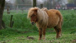 Man Has Sex With Shetland Pony!!