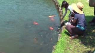 getlinkyoutube.com-Карпы кои 鯉  в парке Иокогама, Япония