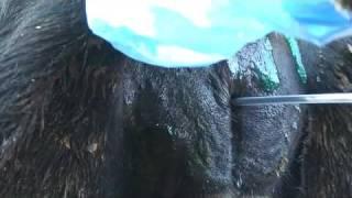 getlinkyoutube.com-التلقيح الصناعي في الأبقار.flv