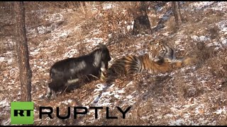 getlinkyoutube.com-Russia: Goat off the menu as TIGER strikes up unlikely friendship with its meal
