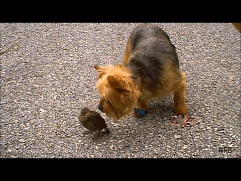 Wild Bird Befriends Dog (Shortened Version)