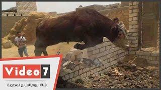 getlinkyoutube.com-بالفيديو.. مطاردة مثيرة لـ«عجل» حطم جدار خلال هروبه من مواطنين بالفيوم