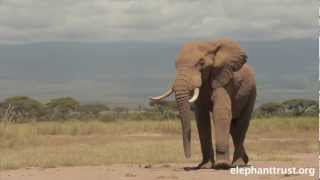 getlinkyoutube.com-Amboseli Elephants - Speared Bull Treated