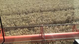 12 T/Ha Claydon drilled second wheat on the Claydon farm